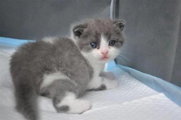"""中国第一只自主培育克隆猫诞生:名字叫""""大蒜"""""""